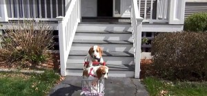 perierga.gr - Σκύλος βγάζει κουτάβι... βολτα με καρότσι!