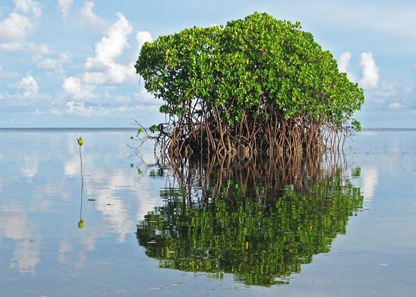 perierga.gr - Mangrove: Τα δέντρα της θάλασσας!