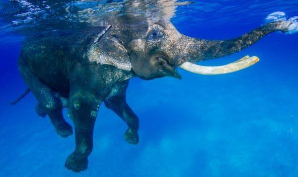 perierga.gr - Ο μοναδικός ελέφαντας που λατρεύει το κολύμπι!