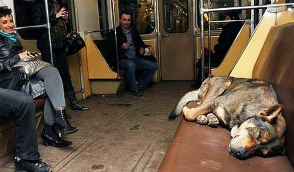 perierga.gr - Τα αδέσποτα σκυλιά στη Μόσχα μετακινούνται με το Μετρό!