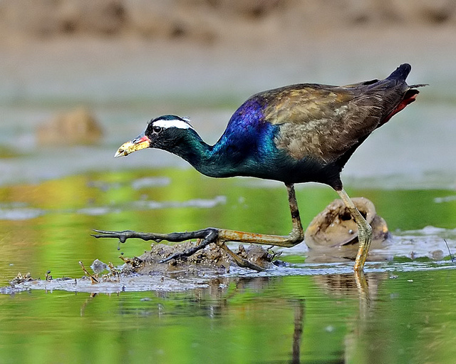 "perierga.gr - Ο ""μεγαλοπόδαρος"" των πτηνών!"
