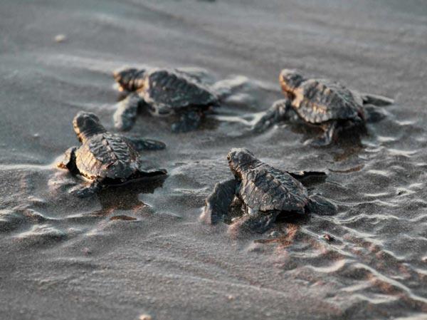 perierga.gr - Εθελοντές βοήθησαν τα χελωνάκια να φτάσουν στη θάλασσα!