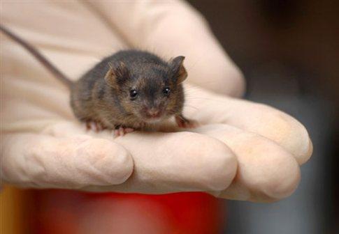 Perierga.gr - Εμφύτευσαν «ψεύτικες» αναμνήσεις σε ποντίκια!