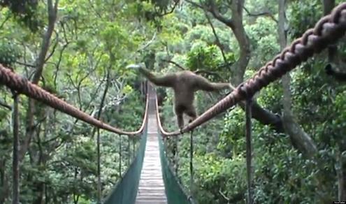 Perierga.gr - Πίθηκος ακροβατεί σε τεντωμένο σχοινί!