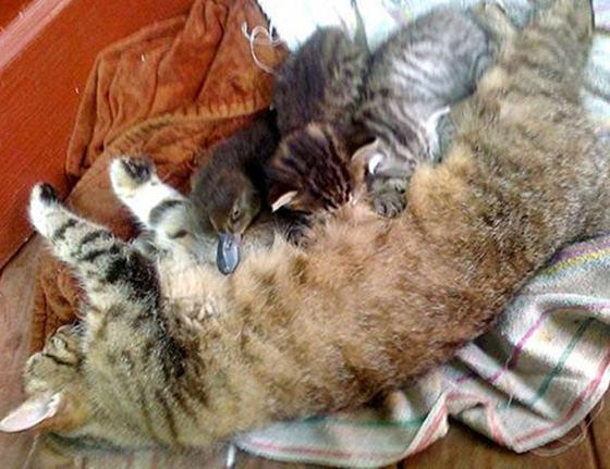 perierga.gr - Γάτα υιοθέτησε παπάκι!