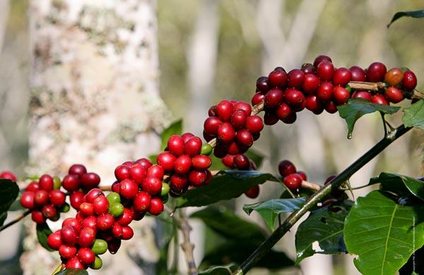 perierga.gr - 10 πράγματα που ίσως δεν γνωρίζετε για την καφεΐνη