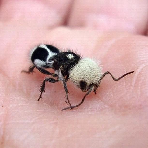 perierga.gr - Panda ant: Η σφήκα... πάντα!