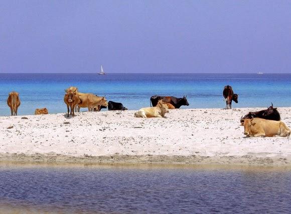 perierga.gr - Κολυμπώντας μαζί με τις... αγελάδες!
