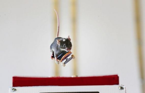 perierga.gr - Αξιαγάπητο ποντικάκι μαθαίνει σκέιτμπορντ!