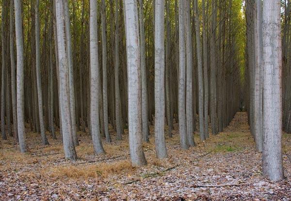 perierga.gr - Σουρεαλιστικό δάσος από λεύκες!