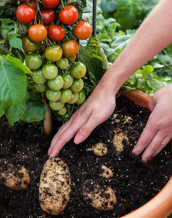 perierga.gr - Φυτό παράγει ντομάτες και πατάτες μαζί!