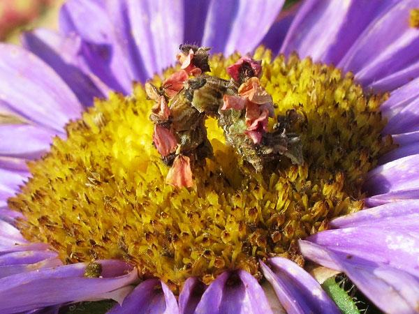 perierga.gr - Η κάμπια που μοιάζει με… λουλούδι!