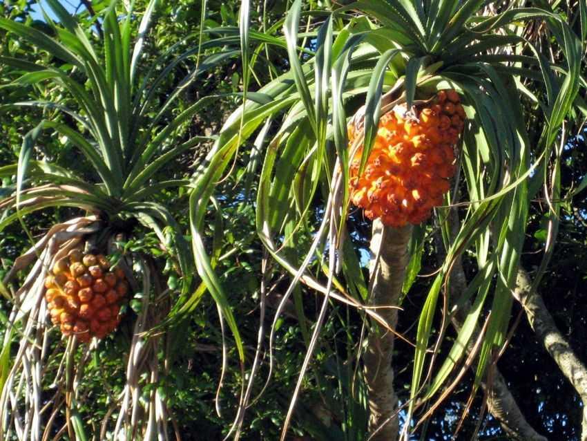 perierga.gr - Το άγνωστο φρούτο hala!