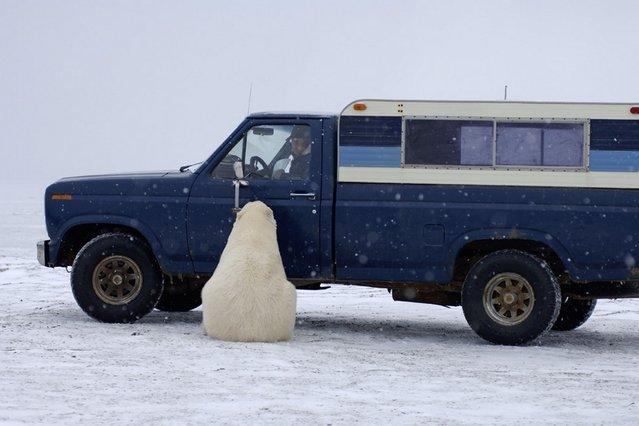 perierga.gr - Η απρόσμενη συνάντηση με μια πολική αρκούδα!