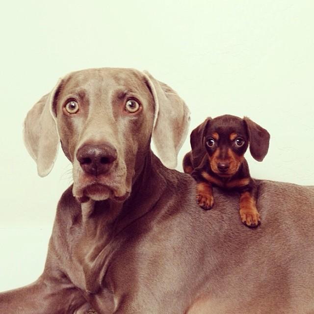 perierga.gr - Μεγάλος σκύλος & μικρό κουτάβι έγιναν αχώριστοι φίλοι!