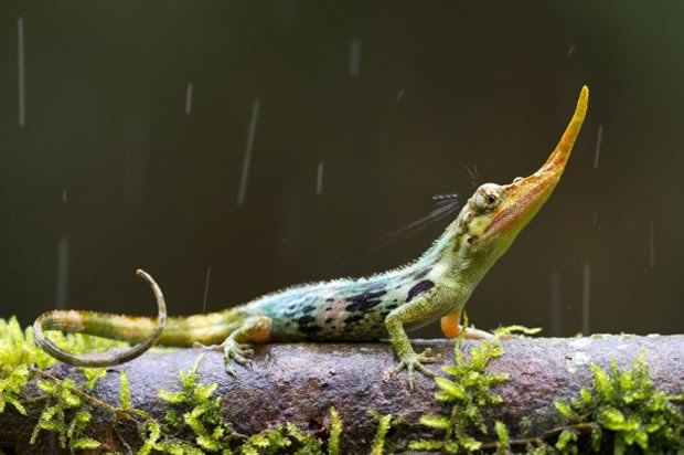 perierga.gr - Παράξενη σαύρα-Πινόκιο ανακαλύφθηκε το Εκουαδόρ!