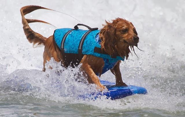 perierga.gr - Διαγωνισμός surf για... σκύλους!