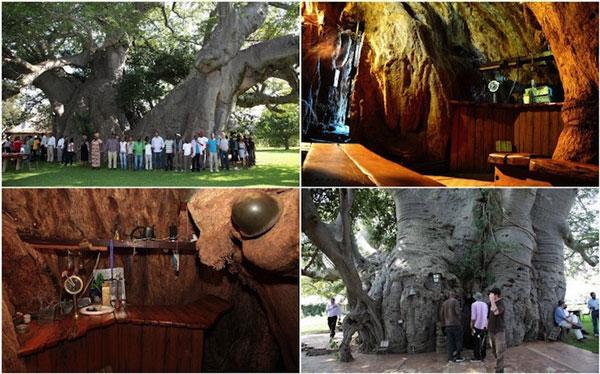 perierga.gr - Δέντρο… κρύβει στον κορμό του ένα μπαρ!