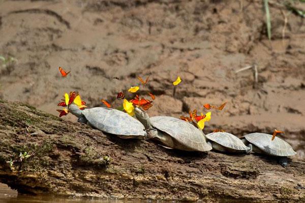 perierga.gr - Γιατί υπάρχουν τόσες πεταλούδες γύρω από τη χελώνα;