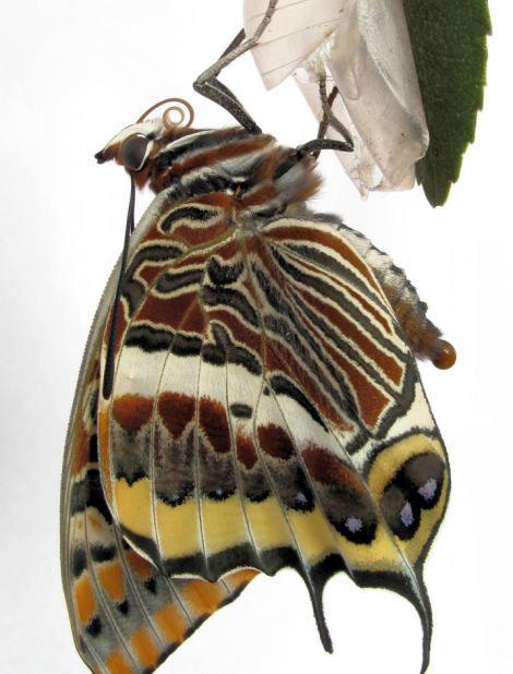 perierga.gr - Mια πεταλούδα βγαίνει από το κουκούλι της καρέ καρέ!