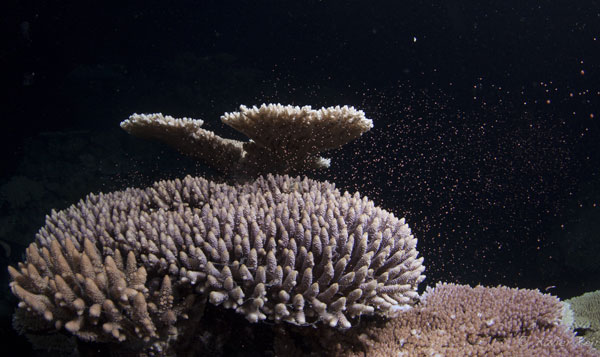 """perierga.gr - Η πιο """"ερωτική"""" βραδιά του μεγάλου κοραλλιογενούς υφάλου!"""