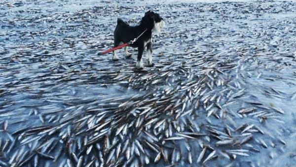 Perierga.gr -  Χιλιάδες ψάρια πάγωσαν μαζί με το νερό!