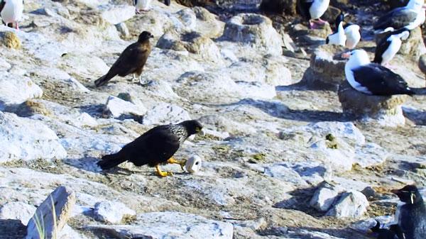 perierga.gr - Γεράκι κλέβει κάμερα και… φωτογραφίζει πιγκουίνους!
