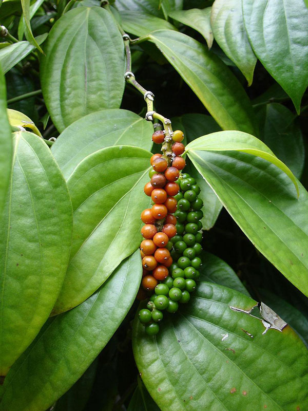 perierga.gr - Άγνωστα φυτά που παράγουν… γνωστά λαχανικά & φρούτα!