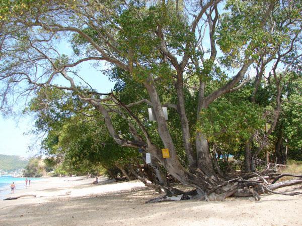 Perierga.gr - Το πιο δηλητηριώδες δέντρο στον κόσμο!