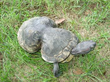 perierga.gr- Σπουδαίο οικολογικό μάθημα από μια χελώνα!