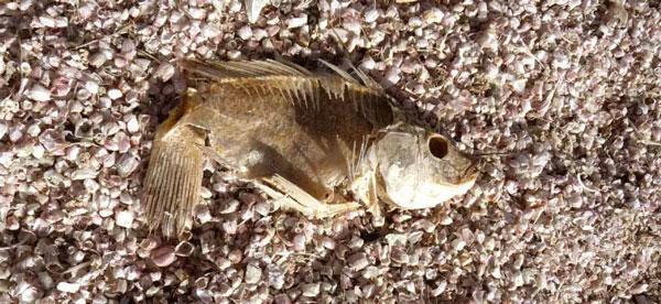 perierga.gr - Παραλία από... οστά νεκρών ψαριών!