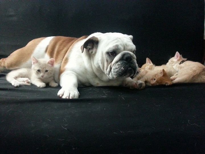 perierga.gr - Αξιαγάπητο μπουλντόγκ με τα... γατάκια του!