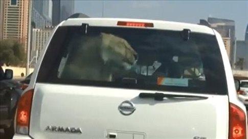 Perierga.gr - Έβγαλε βόλτα με το αυτοκίνητο ένα λιοντάρι!
