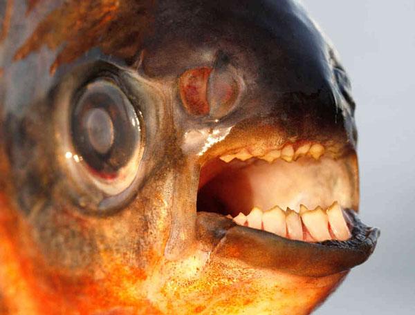 perierga.gr - Pacu: Το παράξενο ψάρι με τα ανθρώπινα δόντια!