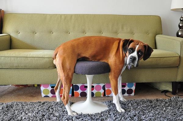 perierga.gr - Σκυλιά που έχασαν τη μάχη με... τα έπιπλα!