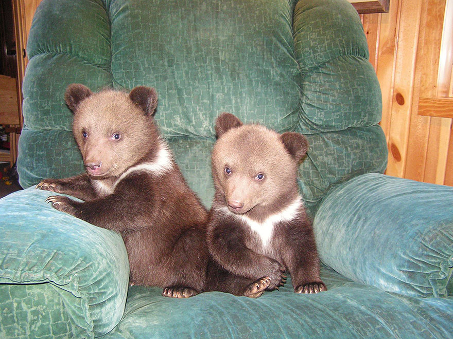 perierga.gr - Ζευγάρι υιοθετεί αρκουδάκια!