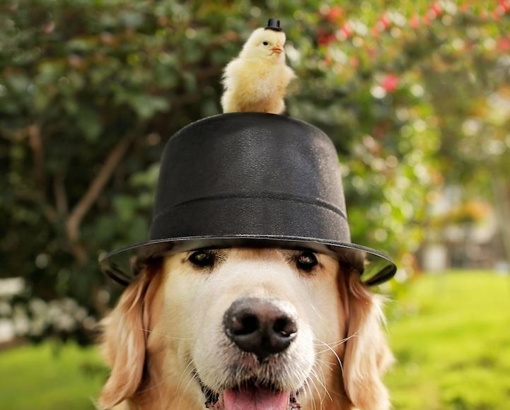 perierga.gr - Ο σκύλος και τα... κοτοπουλάκια του!