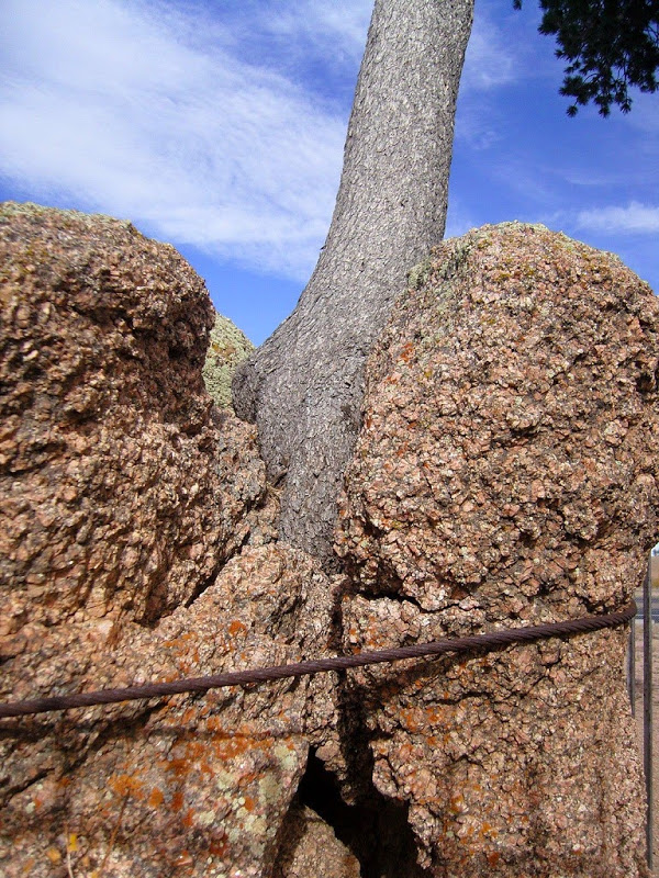 perierga.gr - Το παράξενο δέντρο που φυτρώνει στα βράχια!