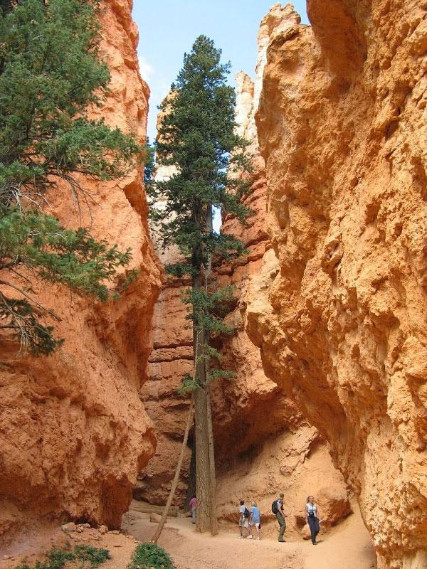 perierga.gr - Πανύψηλα πεύκα μεγαλώνουν ανάμεσα στα βράχια!