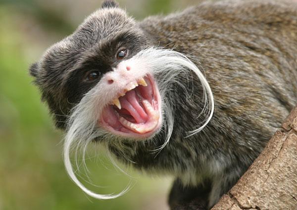 perierga.gr - Ένας μουστακαλής... πίθηκος!