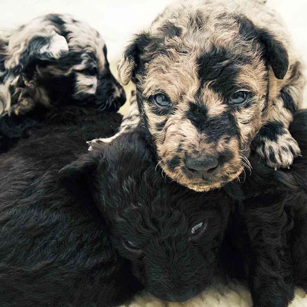 perierga.gr - Πανέμορφα κουτάβια... μόλις γεννήθηκαν!