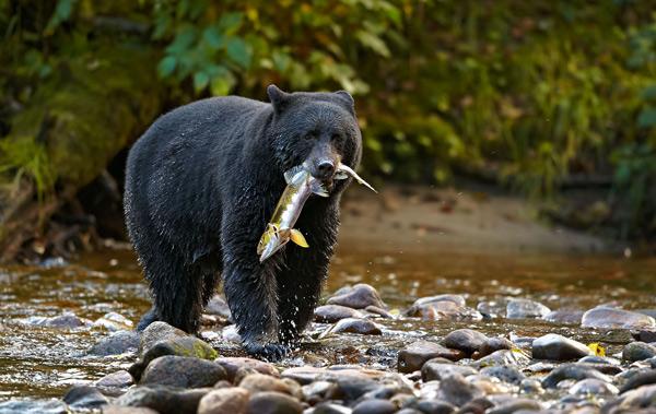 perierga.gr - Απίθανη αναρρίχηση αρκουδίτσας στα βράχια! (βίντεο)