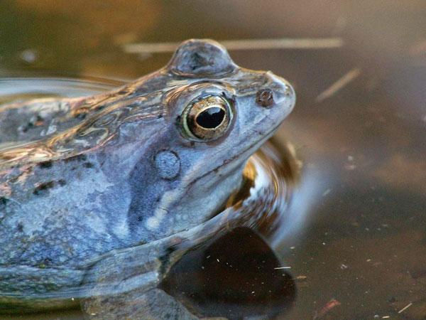 perierga.gr - Ο μπλε βάτραχος της αγάπης!