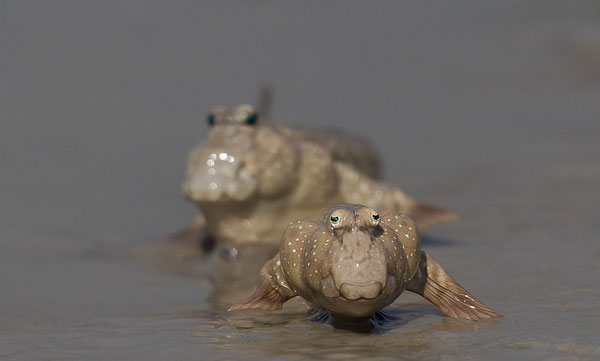 perierga.gr - Mudskippers: Πλάσματα του ωκεανού με παράξενα μάτια!