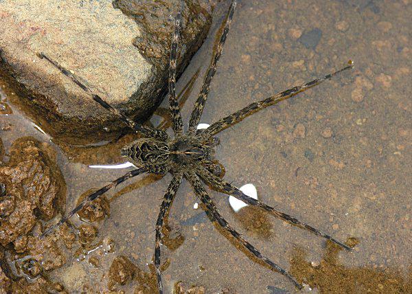 perierga.gr - Αράχνες... πιάνουν ψάρια!