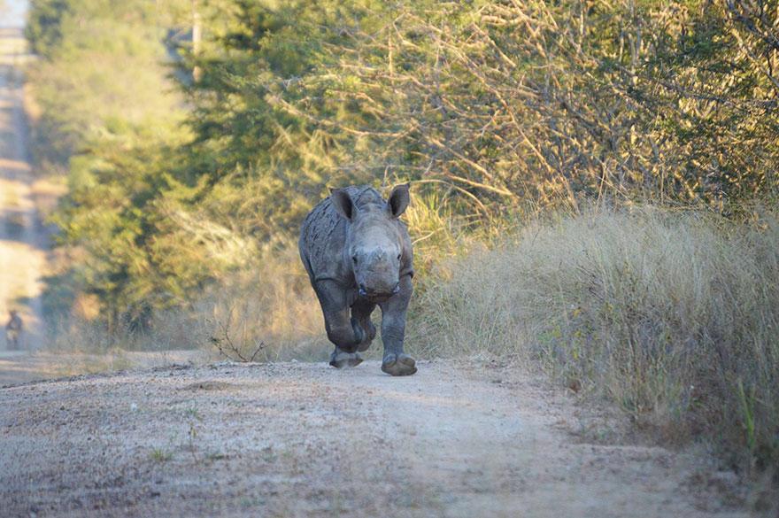 perierga.gr - Μωρό ρινόκερος κοιμάται το βράδυ με ανθρώπινη παρέα!