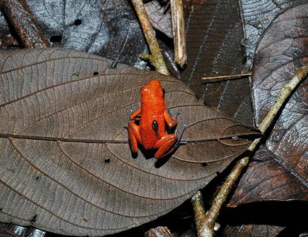 perierga.gr - Οι βάτραχοι που κουβαλούν τα... μωρά τους στην πλάτη!