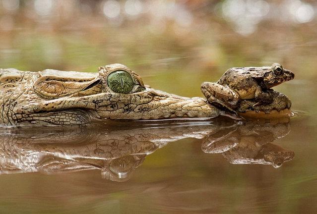 perierga.gr - Ο πιο γενναίος… βάτραχος στον κόσμο!