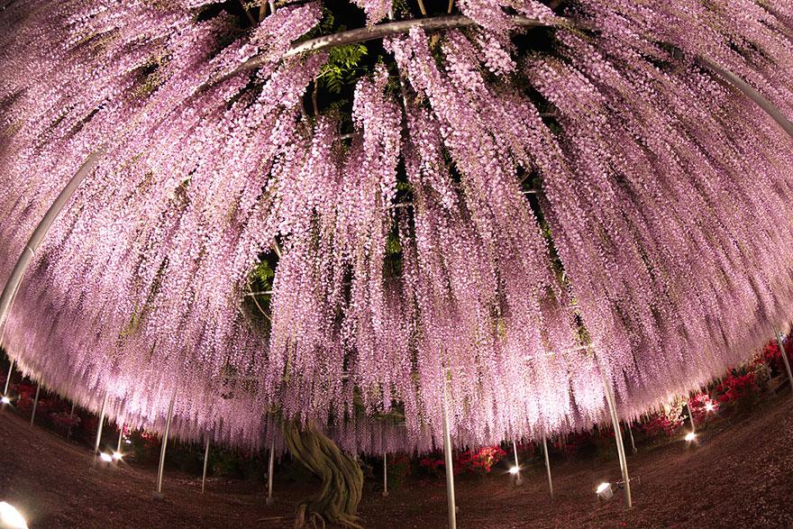 perierga.gr - 144 ετών γλυσίνια άνθισε στην Ιαπωνία!