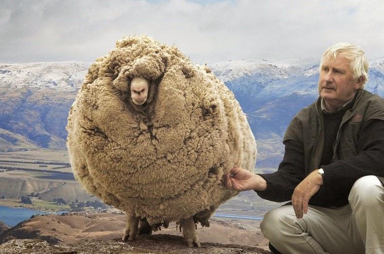 perierga.gr - Το πρόβατο που γλίτωσε έξι χρόνια το… κούρεμα!